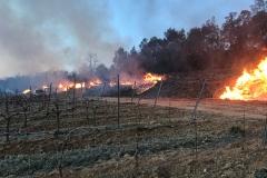 Vines at Domaine de l'Amauriqe suffered extensive frost damage