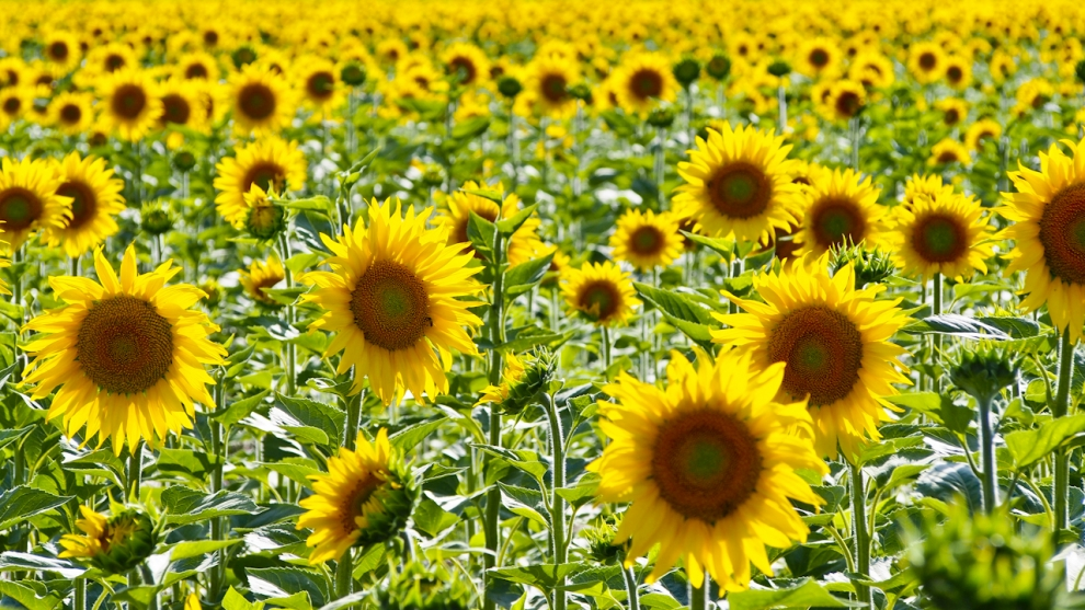 Provence Sunflowers