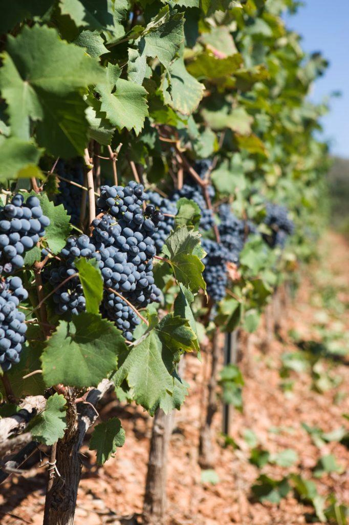 Vines_d_Esclan