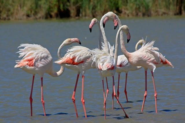 Andrea_Schaeffer_flamingo_2