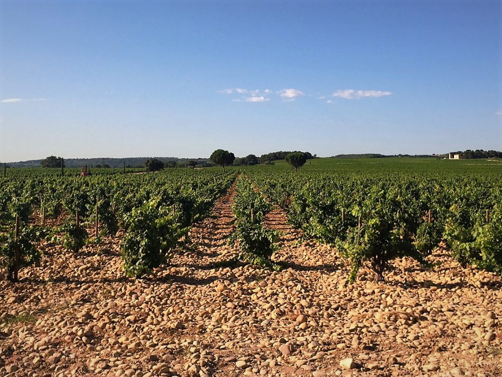 """Gazing out at some of the vineyards of Château de Beaucastel while visiting 5th-generation winemaker Marc Perrin last summer. Note the famous galets roulés, the """"round rocks"""" that retain the warmth of the Provençal sun through the night, contributing to the appellation's renowned terroir."""